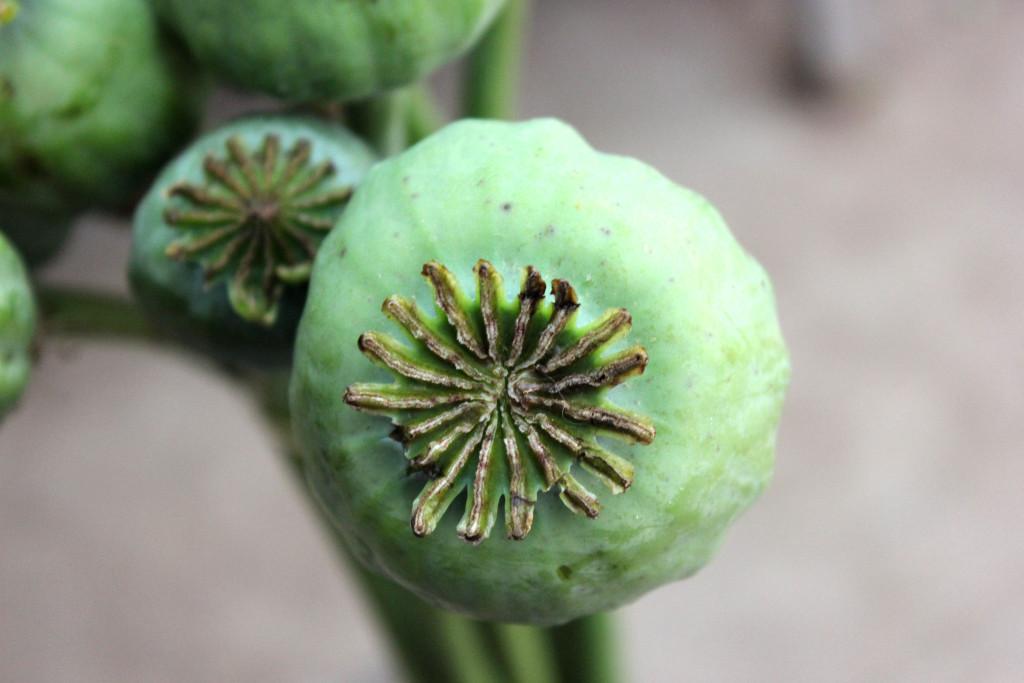 Poppy Pods - Detail - Photo Credit Allison Linder