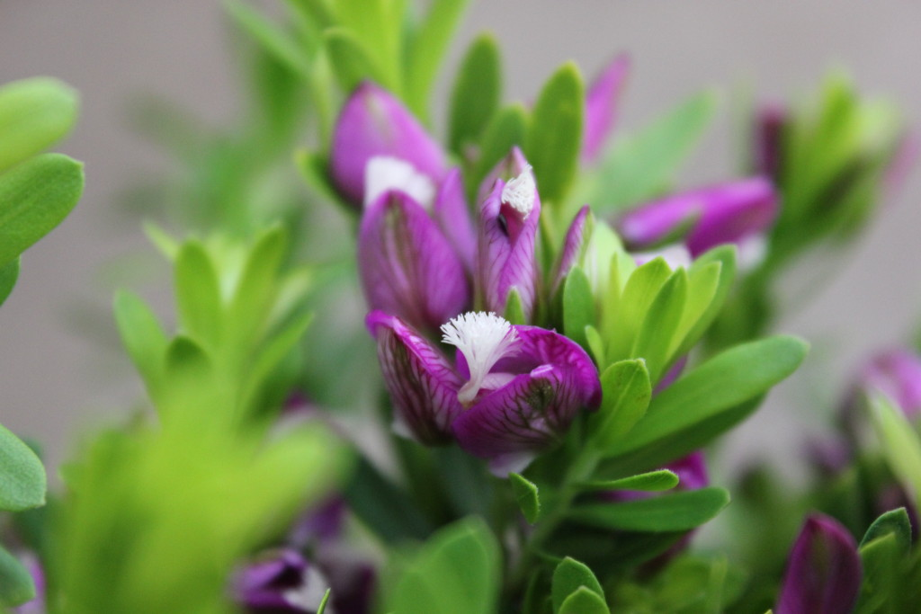 Purple Broom - Detail - Photo Credit Allison Linder