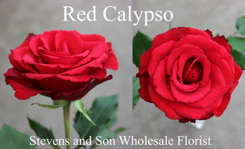 Red Calypso - Photo Credit Allison Linder