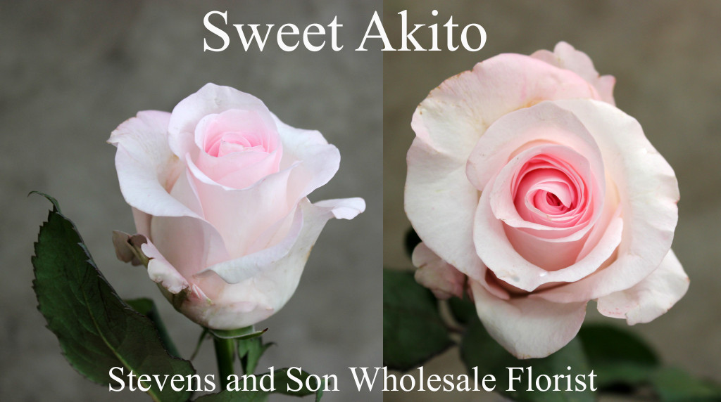 Sweet Akito - Photo Credit Allison Linder