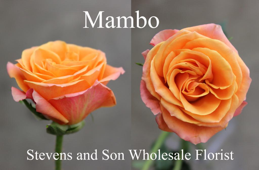 Mambo - Photo Credit Allison Linder