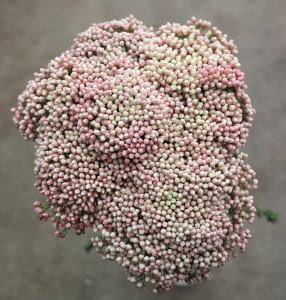 Riceflower - SA Pink Aerial - Photo Credit Allison Linder