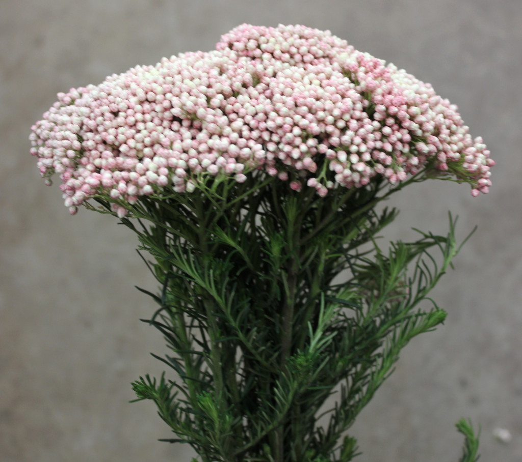 Riceflower - SA Pink Side - Photo Credit Allison Linder