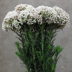 Riceflower - Side White - Photo Credit Allison Linder