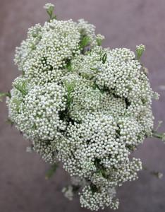 Riceflower - White CA Aerial - Photo Credit Allison Linder