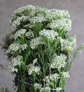 Riceflower - White CA - Photo Credit Allison Linder