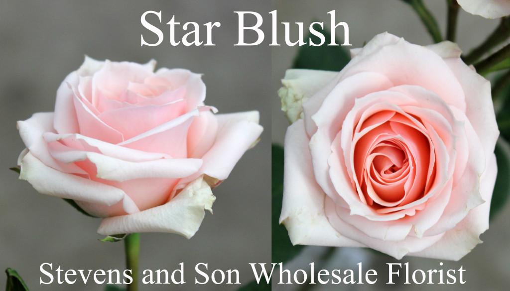 Star Blush - Photo Credit Allison Linder