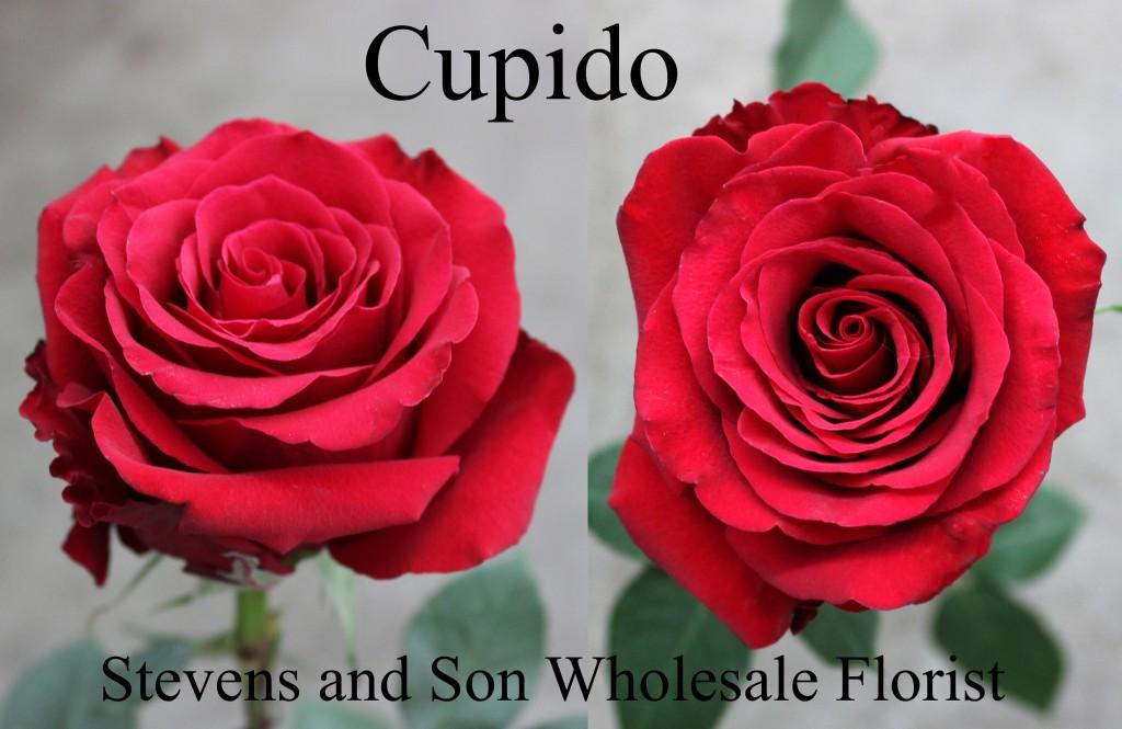 Cupido - Photo Credit Allison Linder
