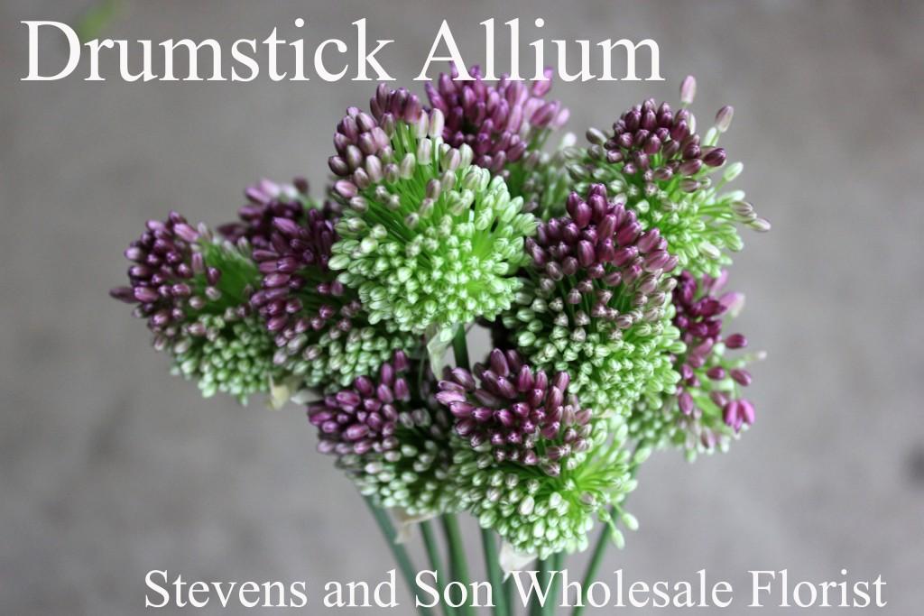 Drumstick Allium - Photo Credit Allison Linder
