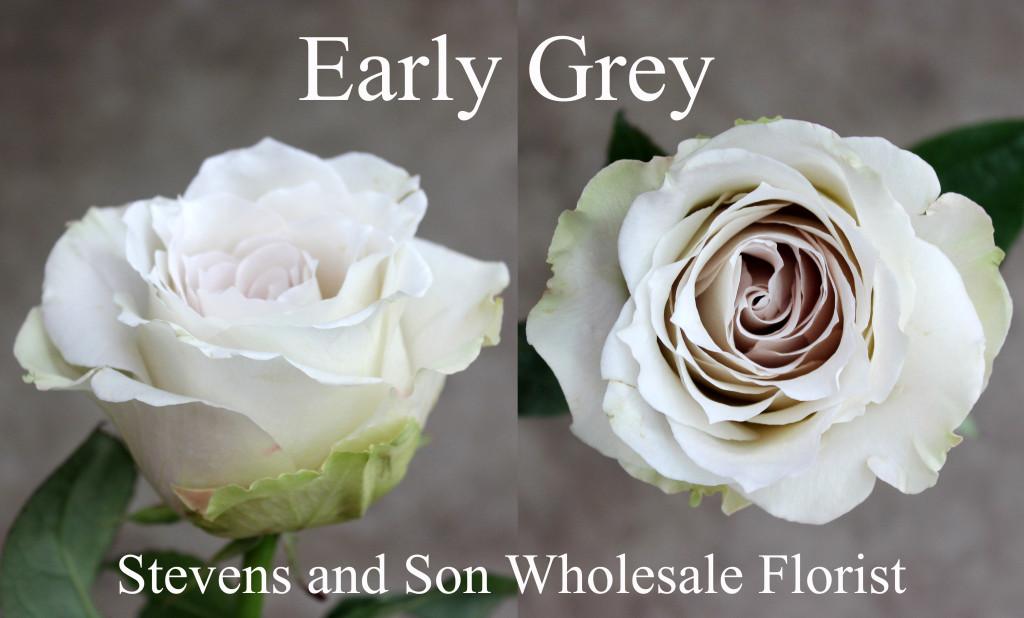 Early Grey - Photo Credit Allison Linder
