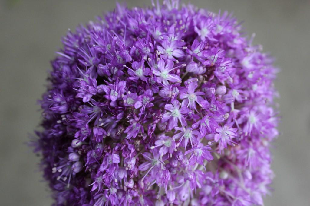 Giant Allium - Detail - Photo Credit Allison Linder