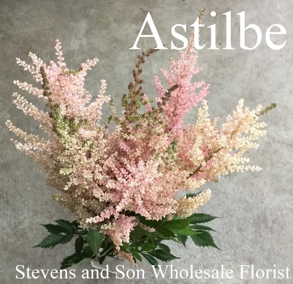 Astilbe-Photo-Credit-Allison-Linder