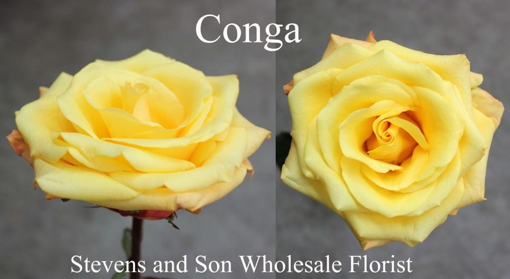Conga - Photo Credit Allison Linder