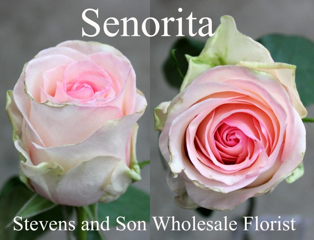 Senorita - Photo Credit Allison Linder