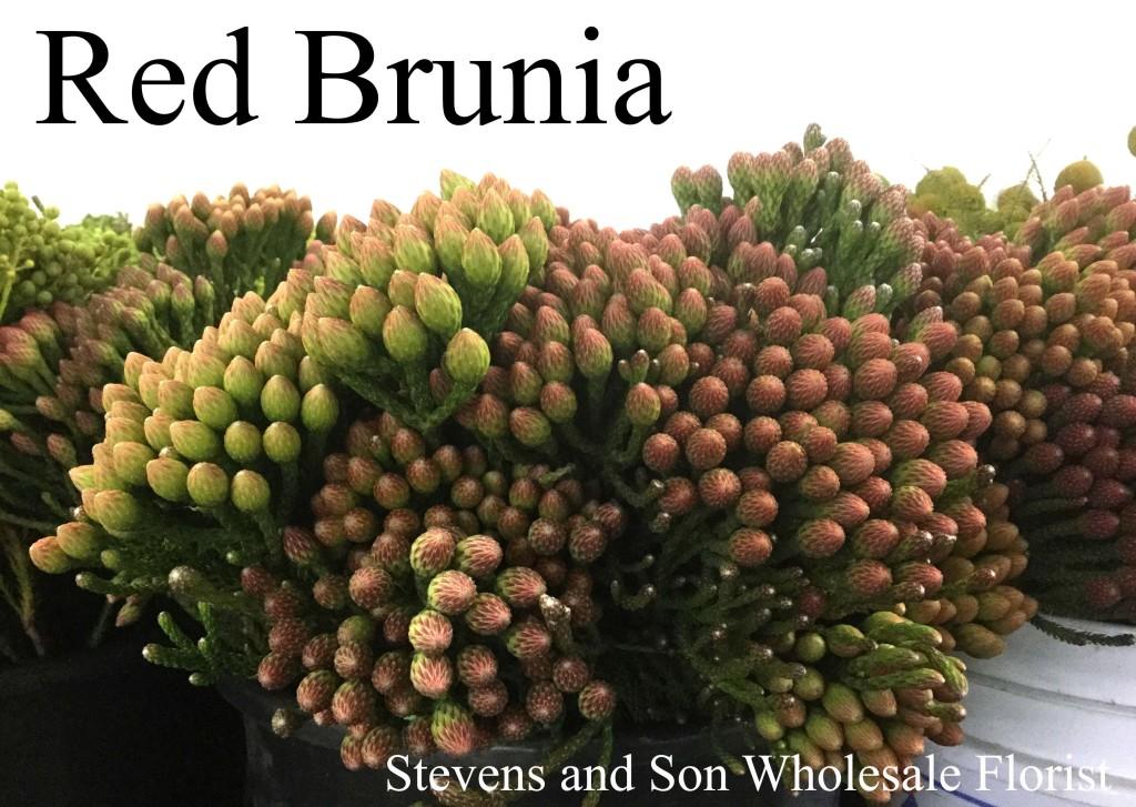 Red Brunia - Photo Credit Allison Linder