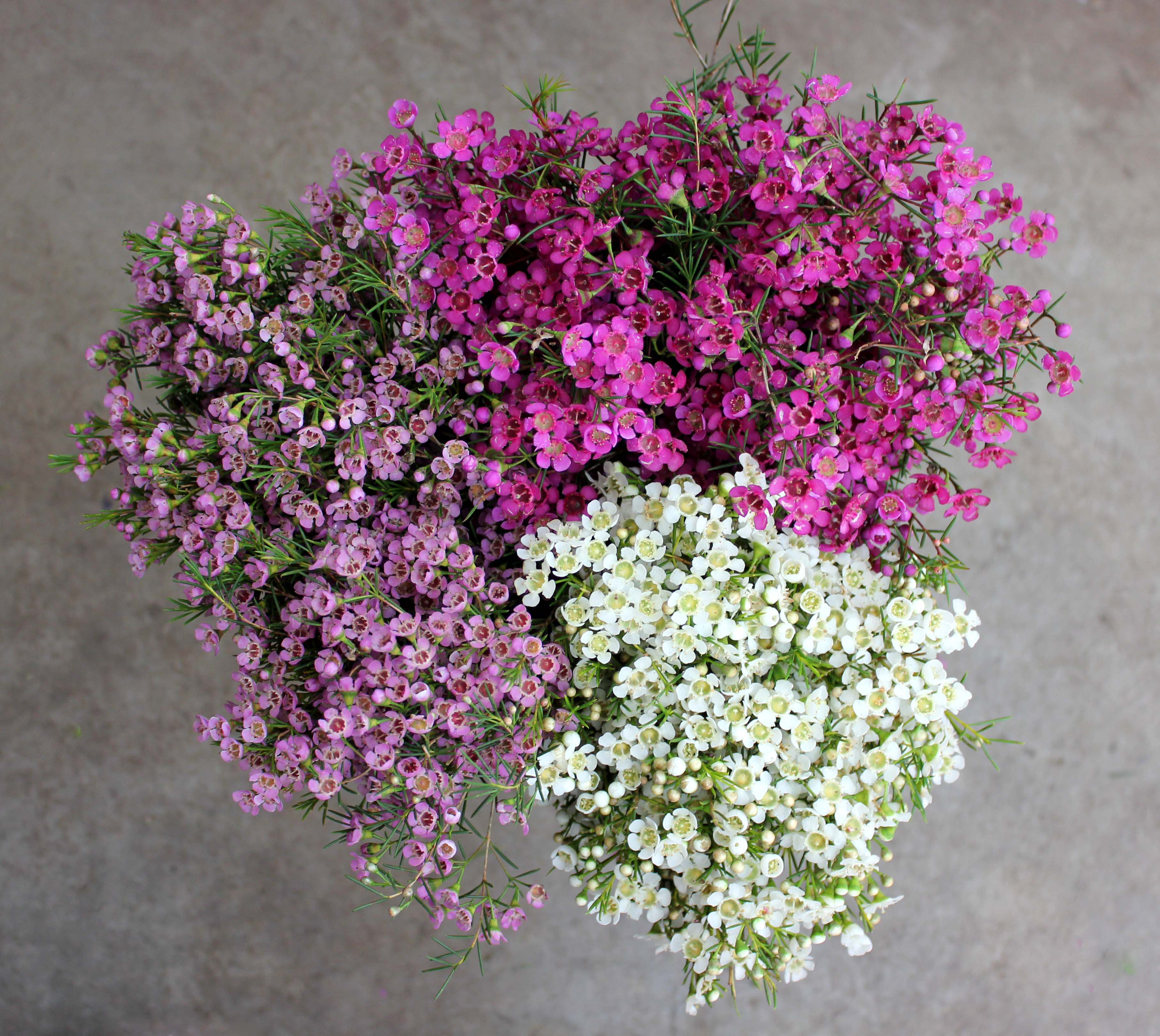 Waxflower | Stevens and Son Wholesale Florist