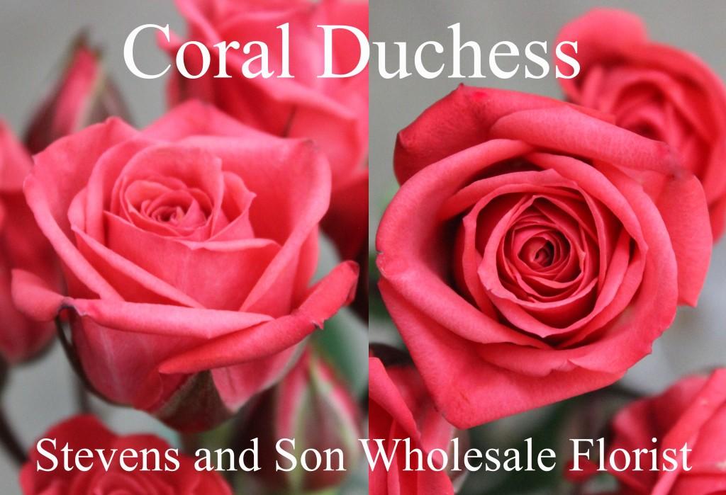 Coral Duchess - Photo Credit Allison Linder