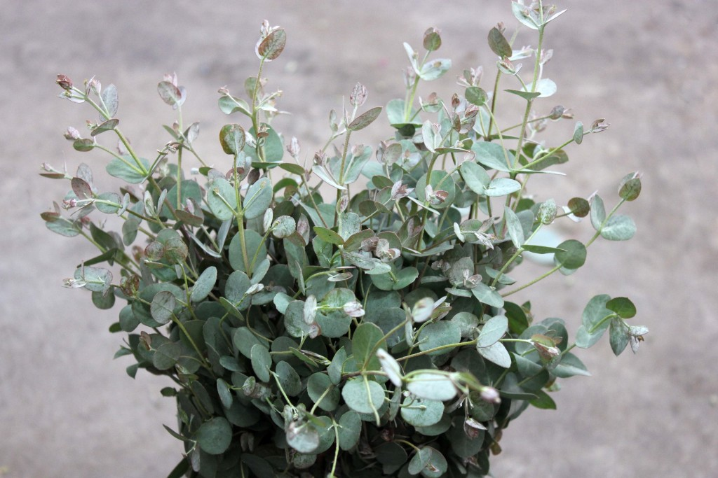 Eucalyptus Gunni - Side - Photo credit Allison Linder