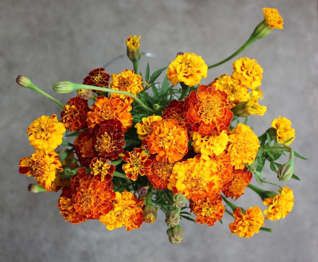 French Marigolds - Bi Color - Photo credit Allison Linder