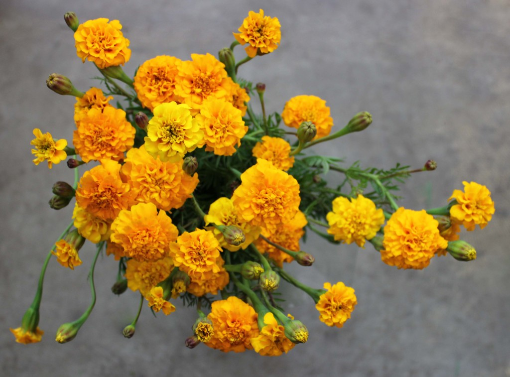 French Marigolds - Orange - Photo Credit Allison Linder