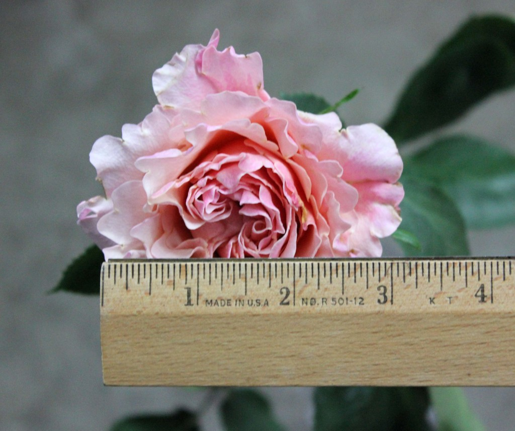 Mayra Peach - Measured - Photo Credit Allison Linder