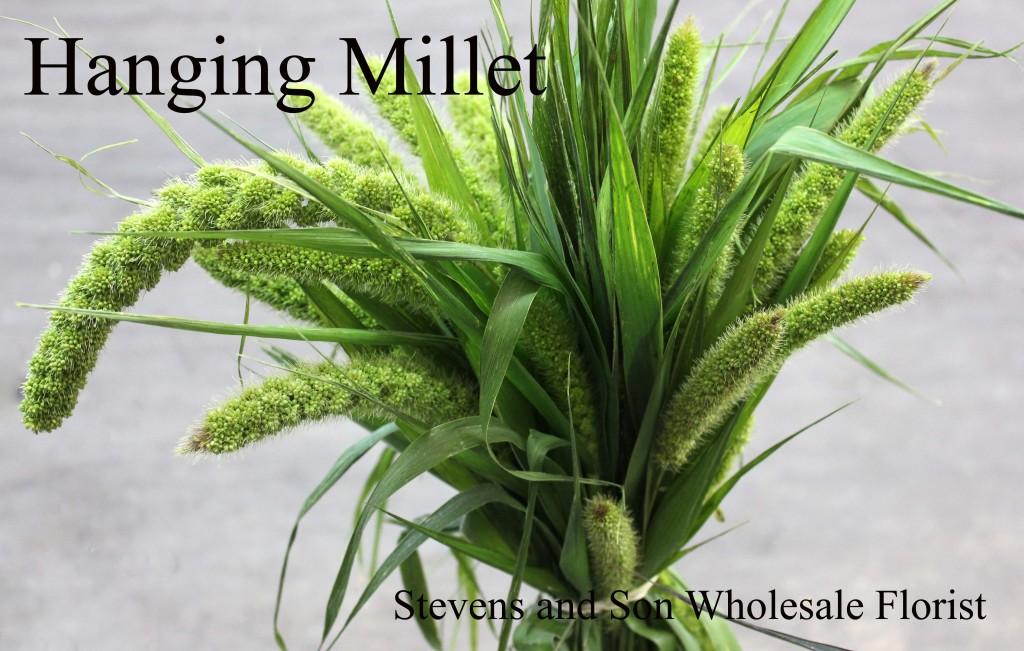 Millet - Green Hanging - Photo Credit Allison Linder copy
