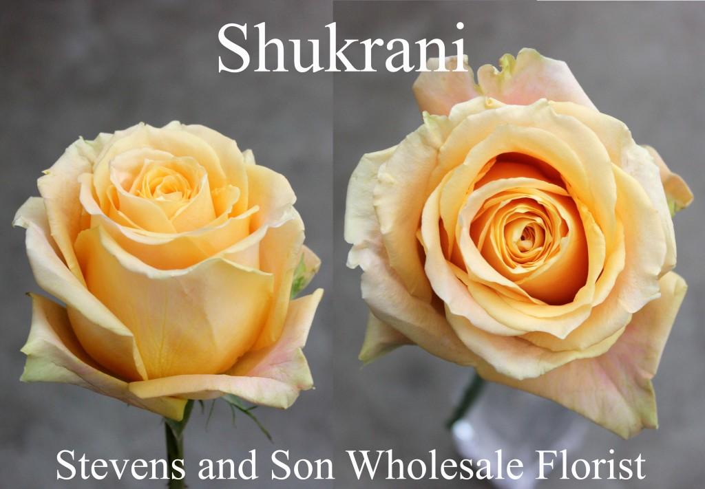 Shukrani - Photo Credit Allison Linder
