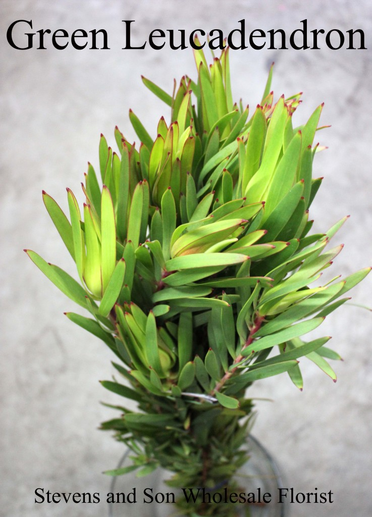 Green Leucadendron - Photo Credit Allison Linder
