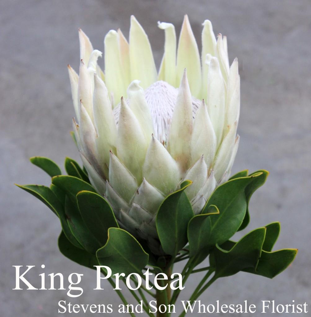 King Protea White - Photo Credit Allison Linder