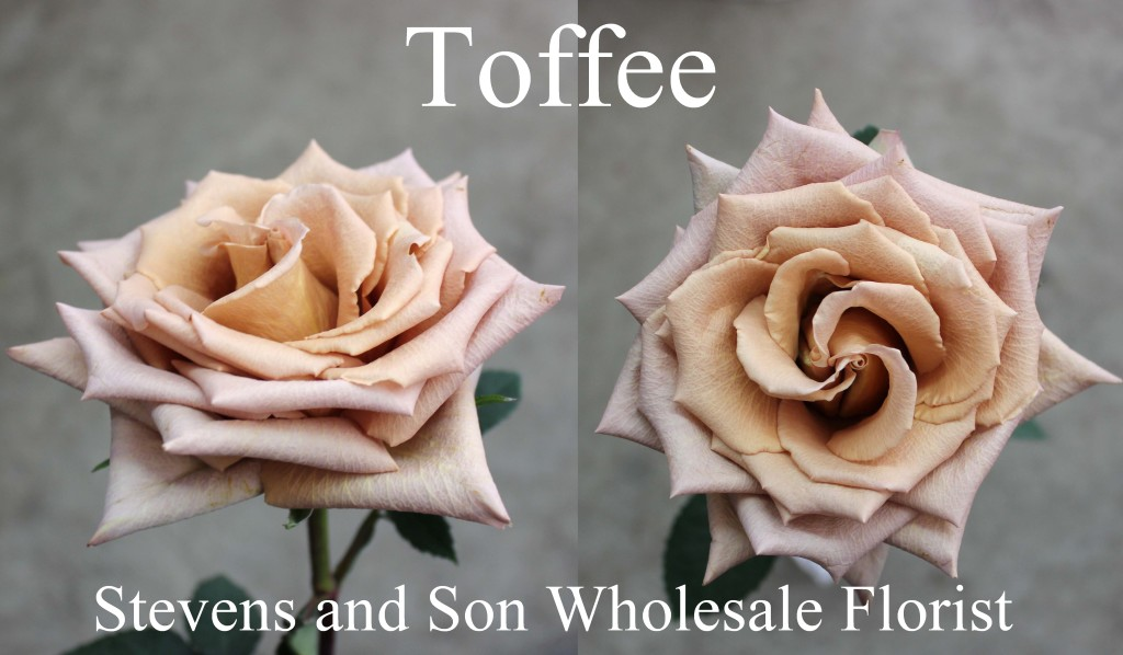 Toffee - Photo Credit Allison Linder