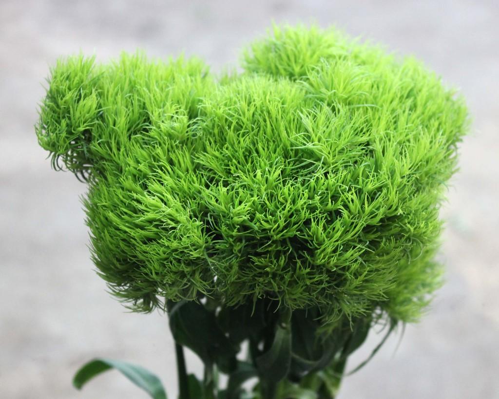 Green Trick Dianthus - Side - Photo Credit Allison Linder