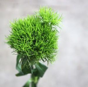 Green Trick Dianthus - Single - Photo Credit Allison Linder