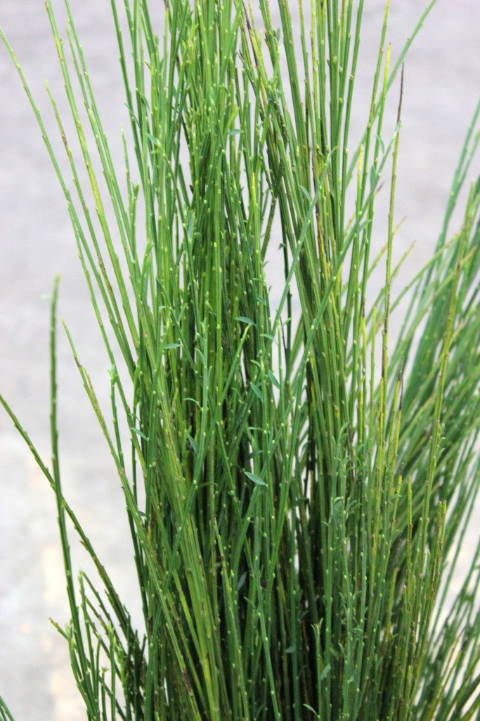 Scotch Broom - 1 - Photo credit Allison Linder