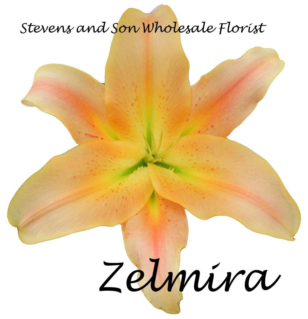 Oreintal Lily - Zelmira - Photo Credit Allison Linder