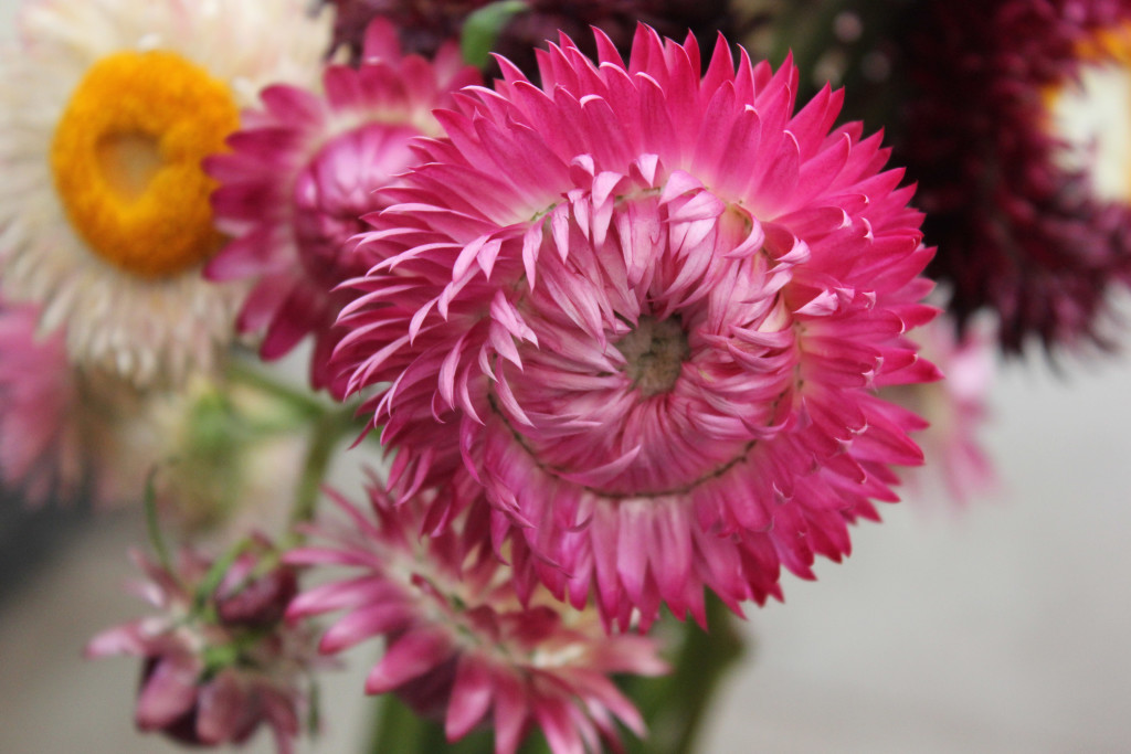 Strawflower - Detail 1 - Photo Credit Allison Linder