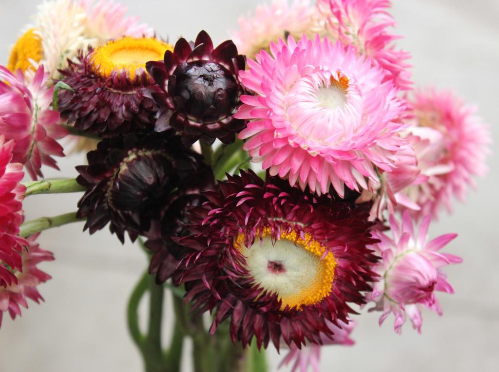 Strawflower - Detail 2 - Photo Credit Allison Linder