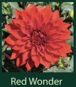 Red Wonder