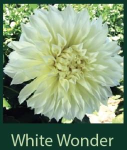 White Wonder