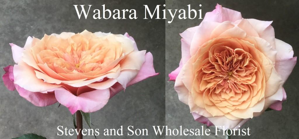 Wabara Miyabi SA - Photo Credit Allison Linder