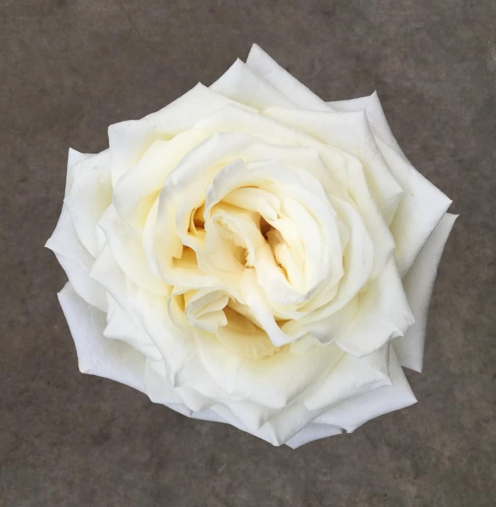 Candlelight - Rose 2 Aerial - Photo Credit Allison Linder