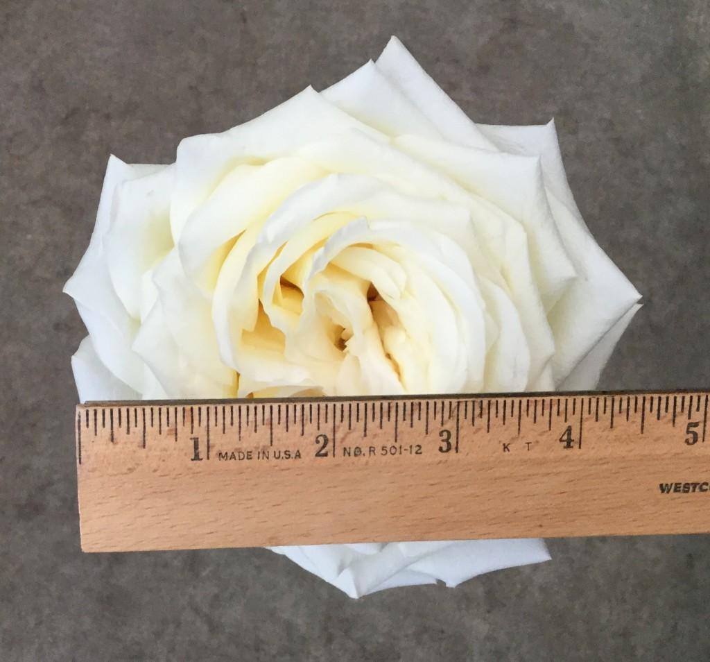 Candlelight - Rose 2 Measured - Photo Credit Allison Linder