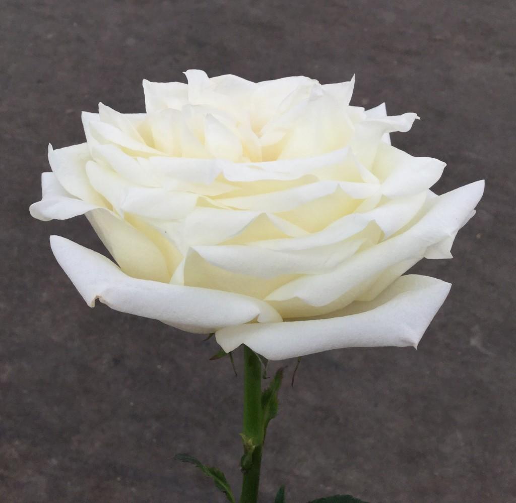 Candlelight - Rose 2 Side - Photo Credit Allison Linder